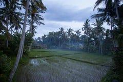 Reisfeld im Nebel am frühen Morgen vor Sonnenaufgang Lizenzfreie Stockfotos