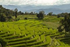 Reisfeld im Norden von Thailand Stockfoto