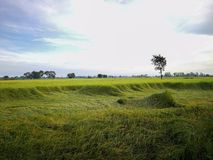 Reisfeld im Norden von Thailand Das grüne Gras wird vorbei durchgebrannt lizenzfreie stockfotos