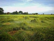 Reisfeld im Norden von Thailand Das grüne Gras wird vorbei durchgebrannt stockfotos