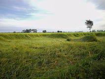 Reisfeld im Norden von Thailand Das grüne Gras wird vorbei durchgebrannt stockbilder