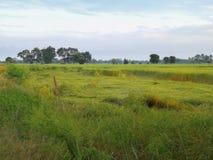 Reisfeld im Norden von Thailand Das grüne Gras wird vorbei durchgebrannt lizenzfreie stockbilder