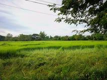 Reisfeld im Norden von Thailand Das grüne Gras wird vorbei durchgebrannt stockfoto