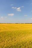 Reisfeld im Sommer, Lomellina (Italien) Stockfoto