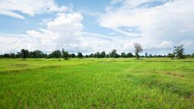 Reisfeld in Kambodscha Stockbild