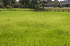 Reisfeld in Kambodscha Lizenzfreie Stockbilder