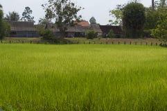 Reisfeld in Kambodscha Lizenzfreies Stockbild