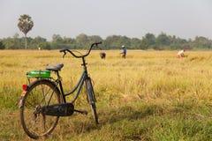 Reisfeld Kambodscha Stockfoto