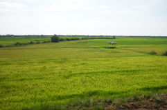Reisfeld in Kambodscha Stockfoto