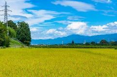 Reisfeld-Landwirtschaftshintergrund Reife Reiserntelandschaft Lizenzfreie Stockbilder