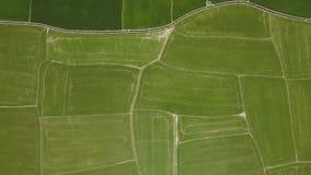 Reisfeld-Luftlandschaft vom Fliegenbrummen Wachsender Reis der Draufsicht auf Dorfplantage Landwirtschaftlich und Korn stock video footage