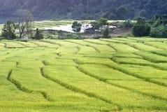 Reisfeld Mae Klang Luang im Dorf, Thailand stockfotos