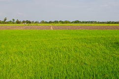 Reisfeld mit blauem Himmel Stockfotografie