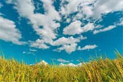 Reisfeld mit blauem Himmel im Hintergrund Lizenzfreie Stockbilder