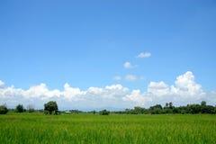 Reisfeld mit blauem Himmel und weißen Wolken Lizenzfreies Stockbild