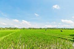 Reisfeld mit blauem Himmel und Wolken Lizenzfreie Stockbilder