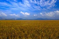 Reisfeld mit Gebirgshintergrund Lizenzfreie Stockfotos