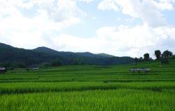 Reisfeld mit Gebirgshintergrund Lizenzfreies Stockfoto