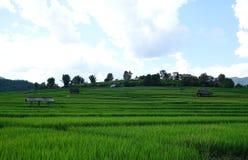 Reisfeld mit Gebirgshintergrund Stockfoto