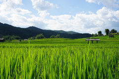 Reisfeld mit Gebirgshintergrund Lizenzfreies Stockbild