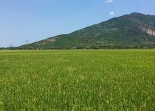 Reisfeld mit Gebirgshintergrund Stockfotos