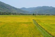 Reisfeld mit Gebirgshintergrund Stockbild