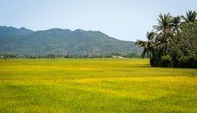 Reisfeld mit Gebirgshintergrund Stockbilder