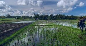 Reisfeld mit geeses Stockbild