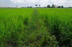 Reisfeld mit kleinem Weg Stockbild