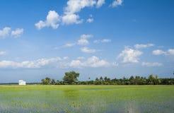 Reisfeld mit nettem Hintergrund des blauen Himmels Lizenzfreie Stockfotos