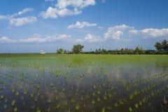 Reisfeld mit nettem Hintergrund des blauen Himmels Stockfotos