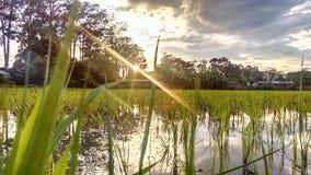 Reisfeld mit sonnigem Hintergrund Lizenzfreie Stockfotos