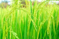 Reisfeld mit Strahl von Lichtern Lizenzfreies Stockbild