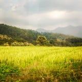 Reisfeld mit zentralem Baum- und Monsunhimmel Lizenzfreie Stockfotos