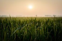 Reisfeld am Morgen Lizenzfreies Stockfoto