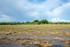 Reisfeld nach dem harvast in Thailand Stockfoto