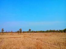 Reisfeld nach Ernte stockfotos