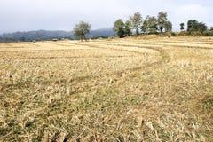 Reisfeld nach Ernte, Thailand Stockbild