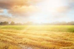 Reisfeld nach Ernte und einige, die noch morgens heranwachsen Lizenzfreie Stockbilder