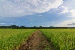 Reisfeld, Nord von Thailand Lizenzfreies Stockfoto