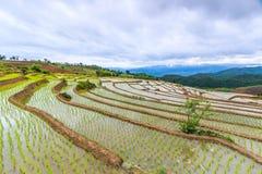 Reisfeld oder getretenes Reisfeld Stockfotografie