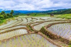 Reisfeld oder getretenes Reisfeld Stockbilder