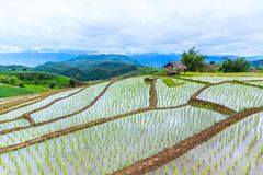 Reisfeld oder getretenes Reisfeld Stockbild