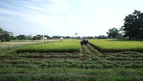 Reisfeld reif im Gelb und Landwirt, der durch Maschine erntet stock video footage