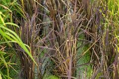 Reisfeld, Reispflanze, mehrfacher Reis Lizenzfreie Stockfotografie