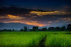Reisfeld am Sonnenuntergang Lizenzfreies Stockfoto
