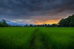 Reisfeld am Sonnenuntergang Stockfotos