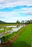 Reisfeld in Thailand. Lizenzfreies Stockbild