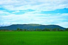 Reisfeld in Thailand. Lizenzfreies Stockfoto
