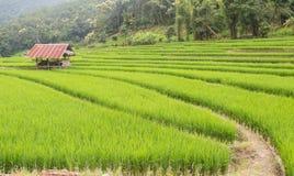 Reisfeld in Thailand Lizenzfreies Stockbild